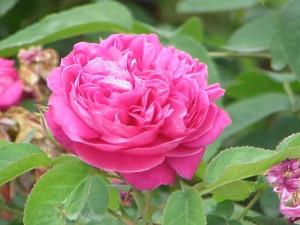 Rosa damascene